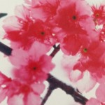 沖縄の桜の見ごろと名所と桜まつり